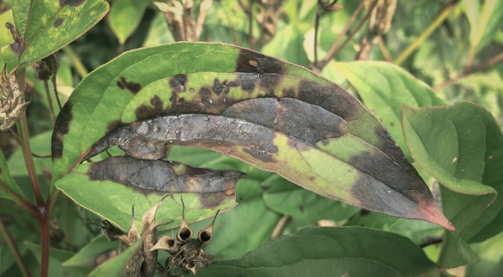 Wohin mit schädlingsbefallenen Pflanzenresten?